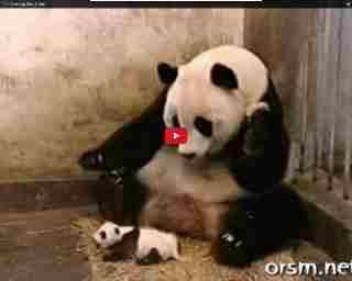 baby panda niest